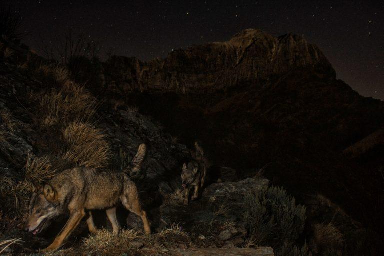 Dos llops captats en un parc nacional, Premi d'Honor MontPhoto 2020