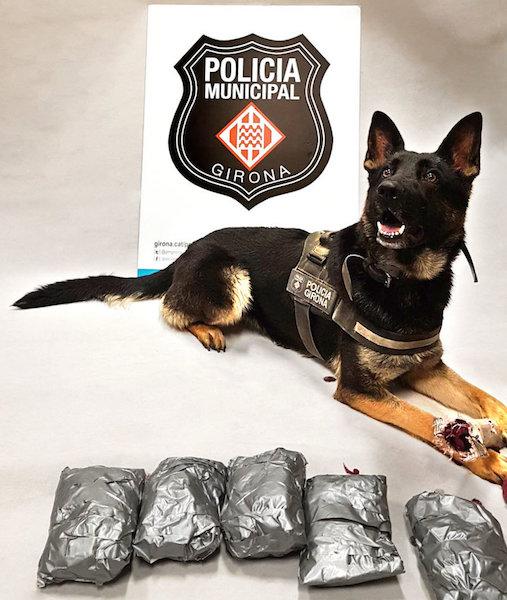 Una gossa de la Policia de Girona permet detenir un veí de Lloret, amb prop d'un quilo de droga a sobre