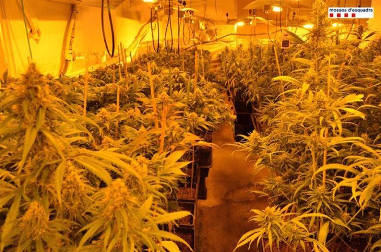 Detenen quatre homes per cultivar més de 1.200 plantes de marihuana a Lloret