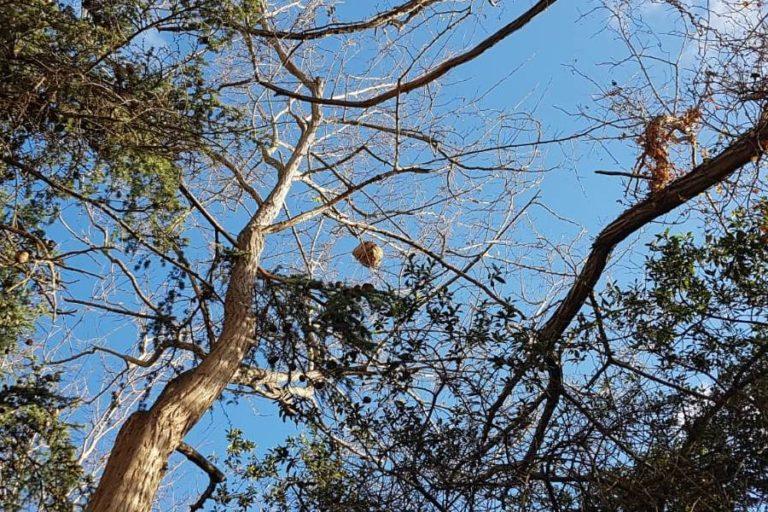 Es desactiva un niu de vespa asiàtica a la Font de la Mina Melitrons, a Lloret de Dalt