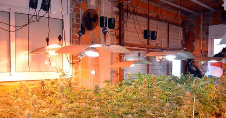 Detingut un home per controlar 800 plantes de marihuana a Lloret