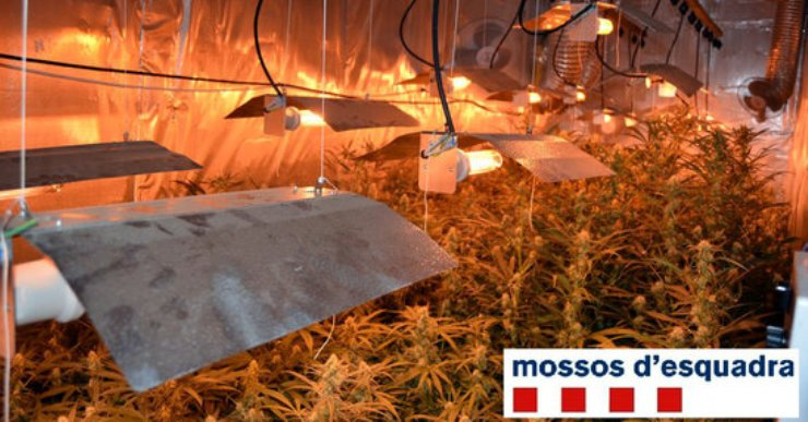 Empresonat un home que cultivava 400 plantes de marihuana a Lloret Residencial
